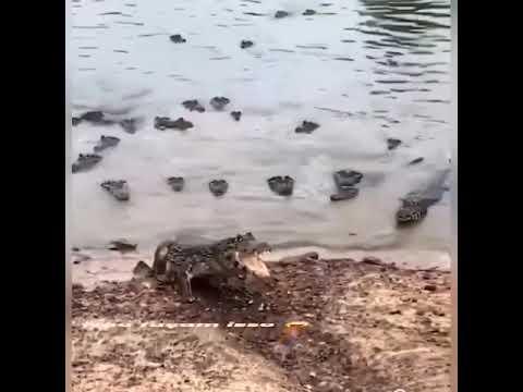 Crocodile attacking drone camera